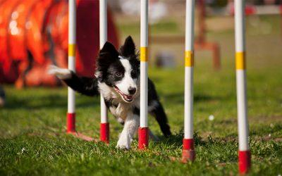 игра для собак аджилити