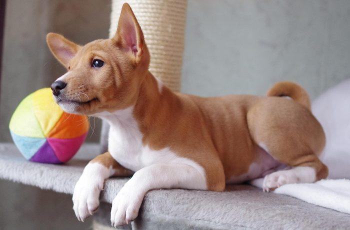 Басенджи порода собак