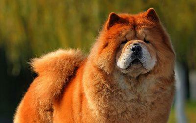 Чау Чау порода собак