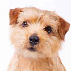 Норфолк терьер порода собак
