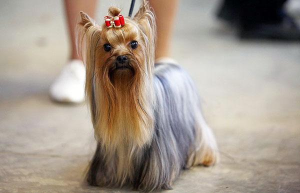 йорк порода собак
