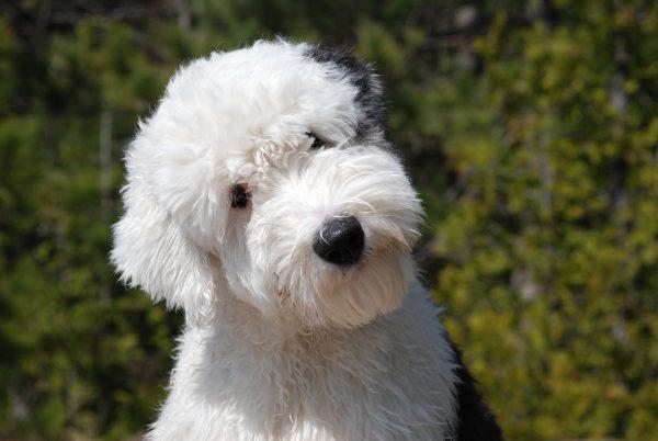 Бобтейл порода собак