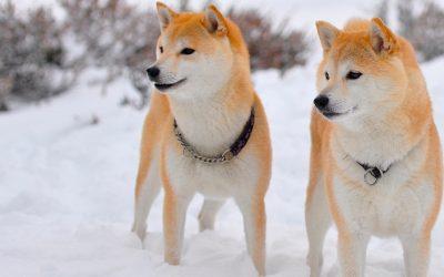 сиба ину порода собак