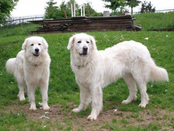 Словацкий чувач порода собак