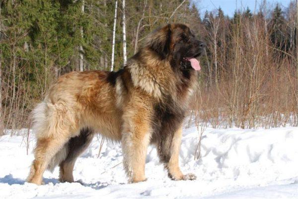 редкая порода собак