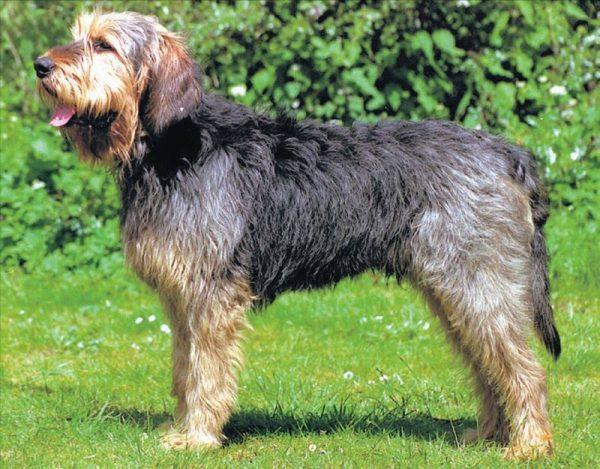 Оттерхаунд порода собак