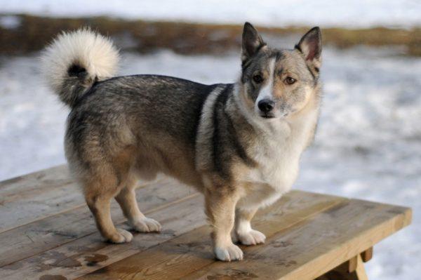 Шведский вальхунд порода собак