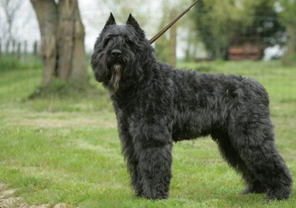 Бувье Де Фландр порода собак