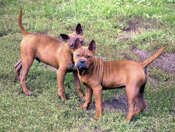 Чунцынь порода собак