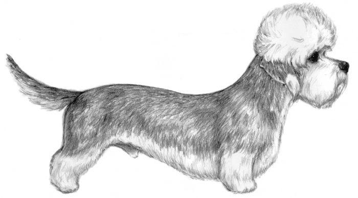 Dandie Dinmont Terrier порода собак