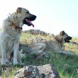 Кангал порода собак
