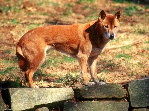 Новогвинейская поющая порода собак