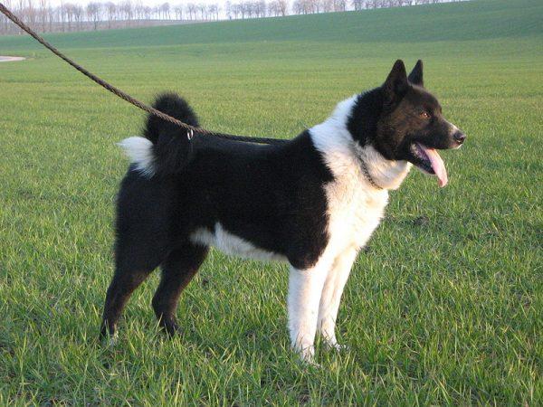 Карельская медвежья собака порода собак