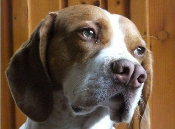 Каталбруны порода собак