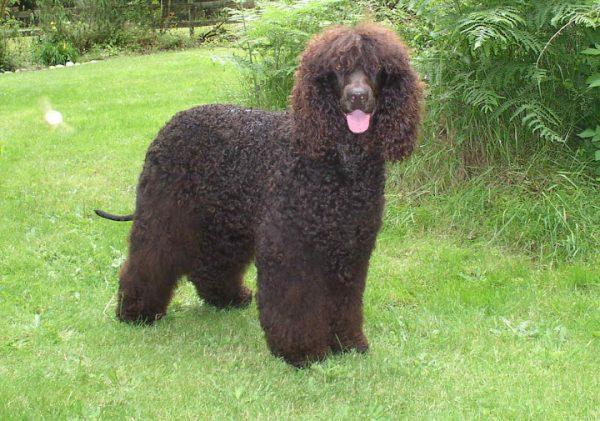 Стабихун порода собак