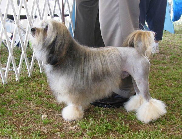 Левхен порода собак