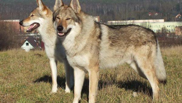 волчак порода собак