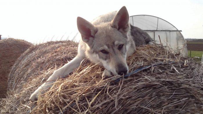 порода Чешский волчак