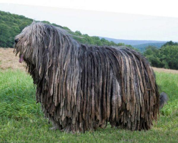 Овчарка бергамская порода собак