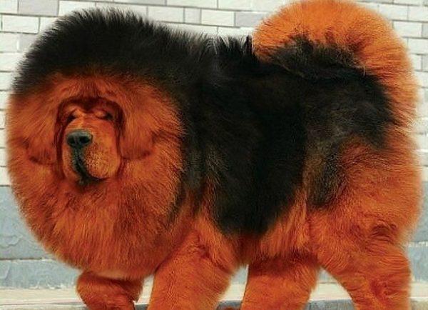Тибетский мастиф самая редкая собака