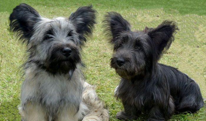 Скай терьер порода собак