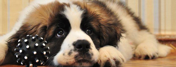 Московская сторожевая порода собак