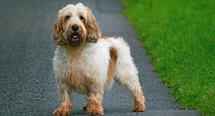 Вандейский Бассет-Гриффон порода собак
