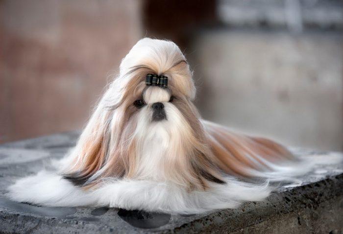 Порода собак Ши тцу