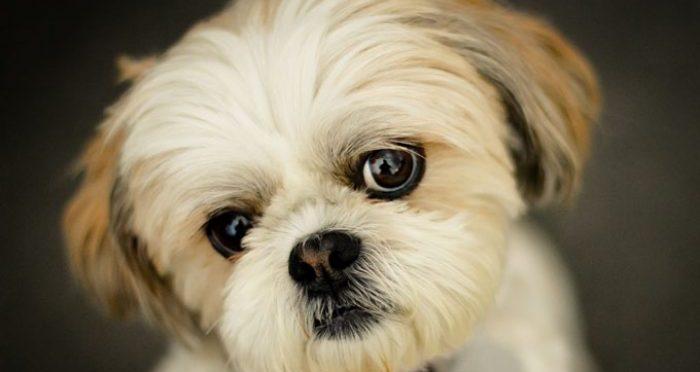 Шит тцу порода собак