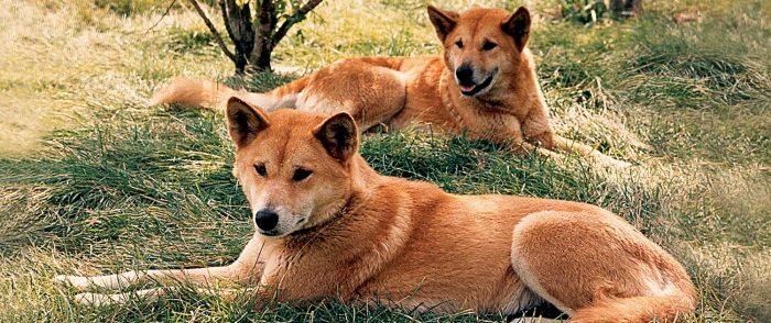 собака Динго история