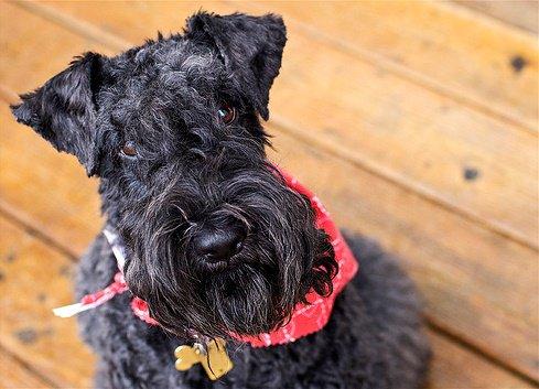 Порода собак ирландский терьер