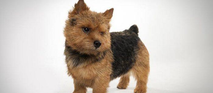 Норвич терьер порода собак щенки