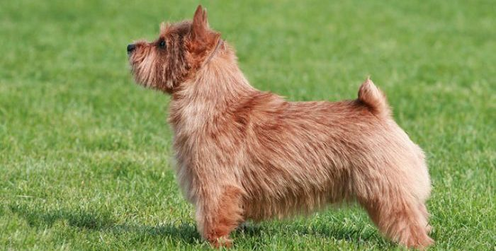 Норвич терьер порода собак внешность