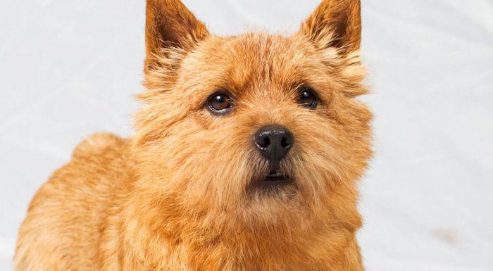 Норвич терьер порода собак