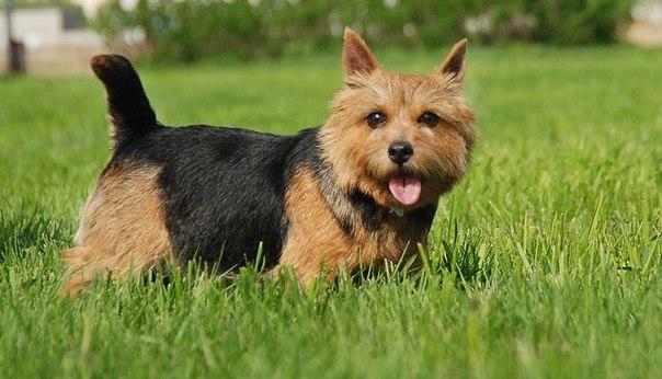 Норвич терьер порода собак содержание
