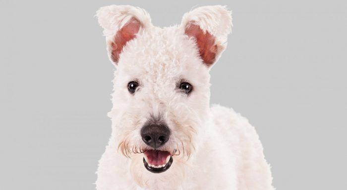 Пуми порода собак