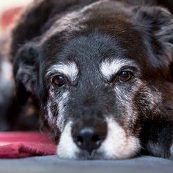 Почему собаки седеют