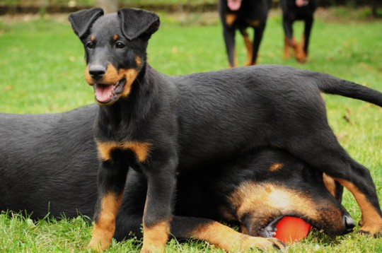 описание породы собак Французский босерон