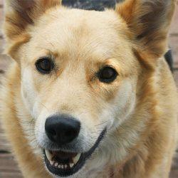 Порода собак Чинук
