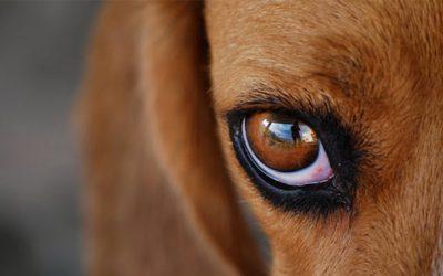 у собаки гноиться глаз