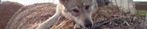 Чешский волчак - Czech Wolfdog